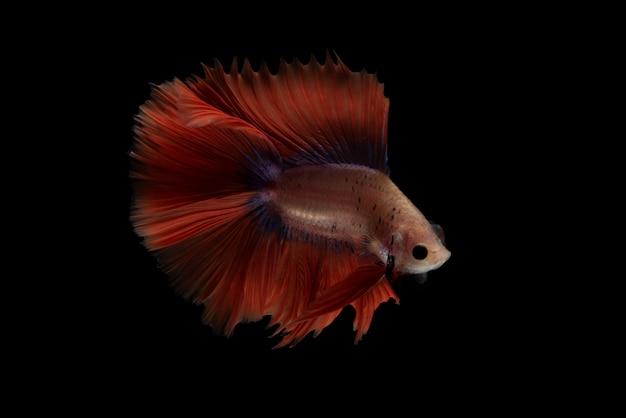 Roter betta-fisch