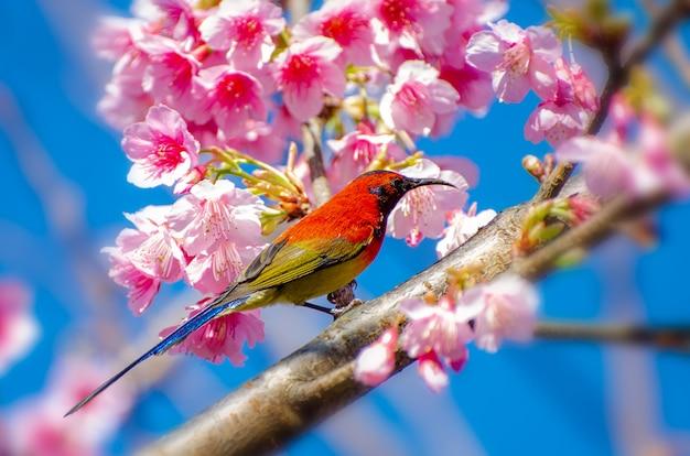 Roter blauer hintergrund des vogels gehockt auf den niederlassungen kirschblüte