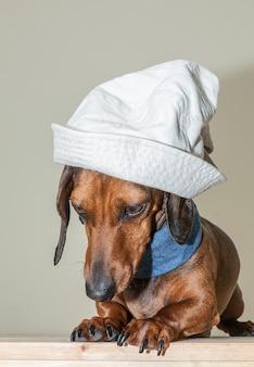 Roter dackelhund mit sonnenbrillen oder fliegenschals