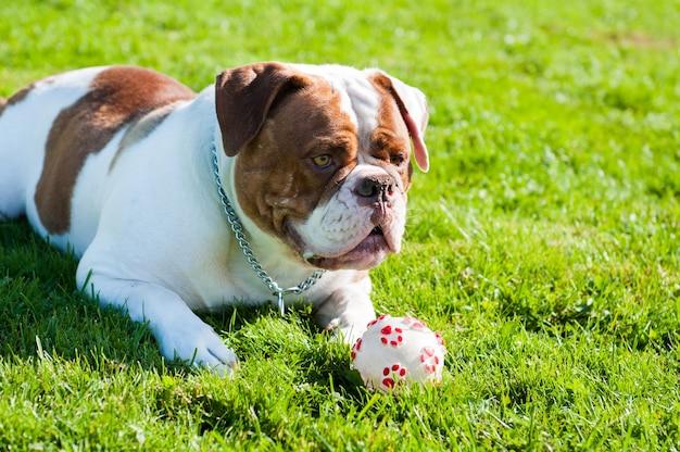 Roter erwachsener amerikanischer bulldoggenhund spielt mit ball