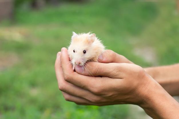 Roter flaumiger hamster in der hand, auf einem schönen hintergrund