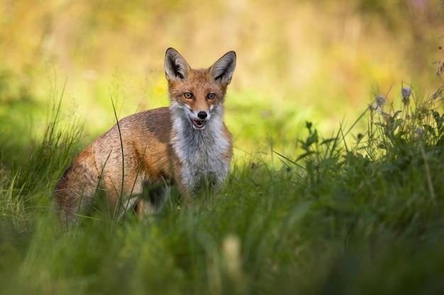 Roter fuchs, der im grünen gras auf einer wiese steht und durch offenen mund atmet.