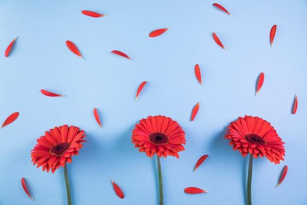 Roter gerbera blüht mit den blumenblättern auf blauem hintergrund