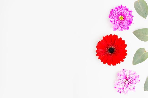 Roter gerbera mit rosa chrysantheme und blättern auf weißem hintergrund