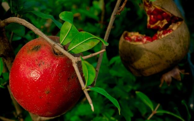 Roter granatapfel mit den grünen blättern, die im garten und in der hälfte eines reifen granatapfels wachsen
