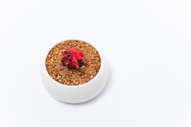 Roter gymnocalycium verändert im weißen topf auf weißem hintergrund