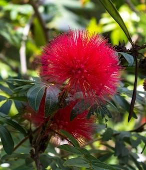 Roter haemanthus multiflorus (tratt.)