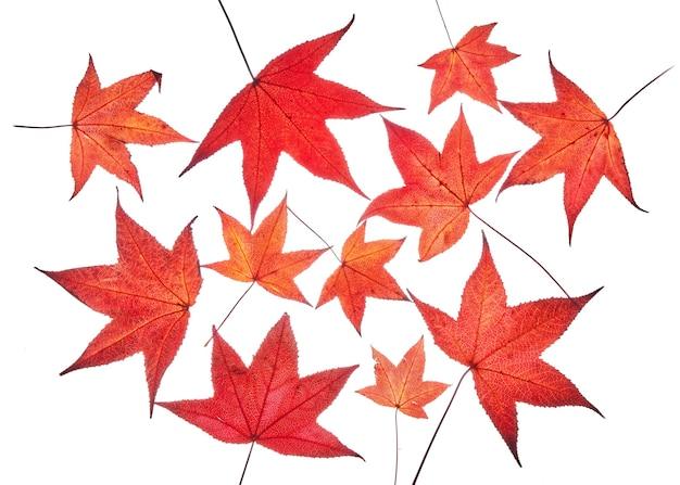 Roter herbst liquidambar oder ahornblätter lokalisiert auf weißem hintergrund, beschneidungspfad