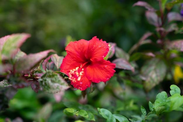 Roter hibiscus, chinesische rosafarbene blume mit grünem unschärfehintergrund