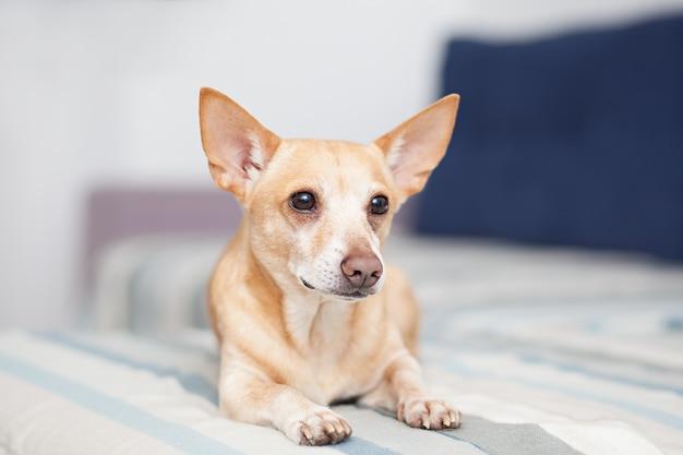 Roter hund auf der couch liegen. haustier ruht. chihuahua. horizontal schoss zuhause vom hellen innenraum mit kleiner couch. der hund in der wohnung wartet darauf, dass der besitzer nach hause geht. hund liegt auf dem sofa.