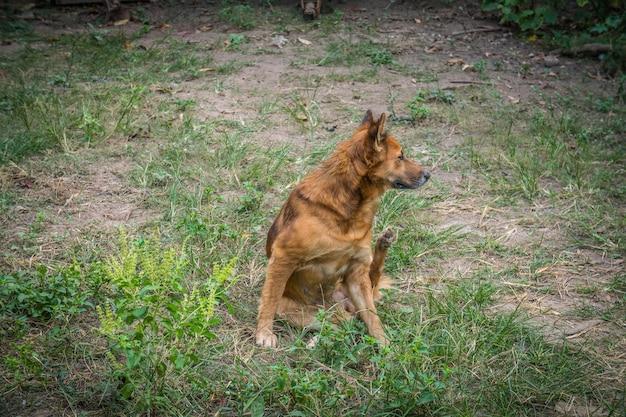 Roter hund, der geht, ihr ohr zu verkratzen