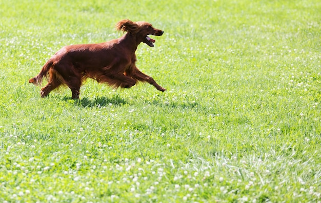 Roter irischer setter, der auf gras läuft