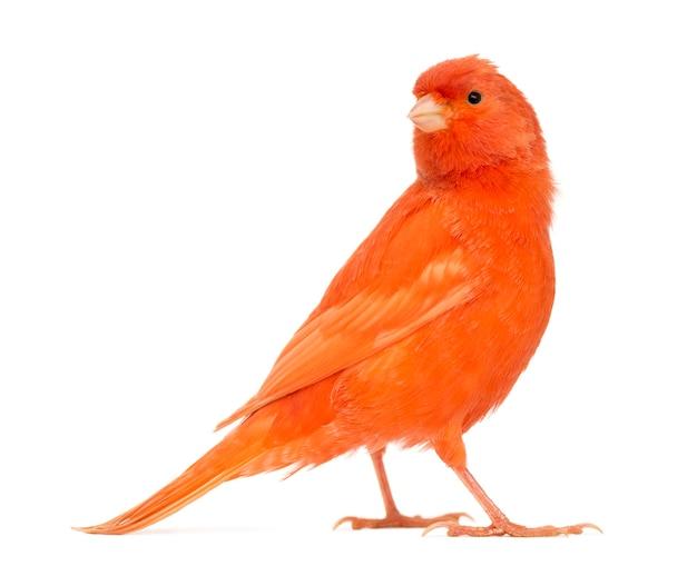 Roter kanarienvogel, serinus canaria, gegen weiße oberfläche