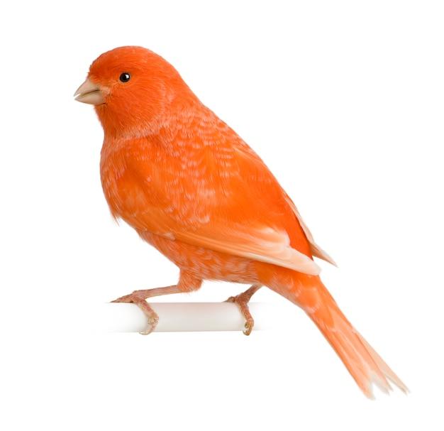 Roter kanarienvogel, serinus canaria, isoliert gelegen