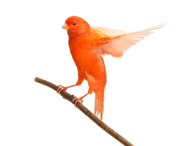 Roter kanarienvogel serinus canaria, thront auf einem ast gegen leerraum