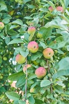 Roter köstlicher apfel. glänzende köstliche äpfel, die von einem ast in einem apfelgarten hängen
