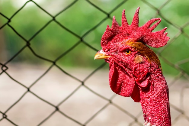 Roter kopf eines hahns oder des hahns auf bauernhofyard. landwirtschaftskonzept