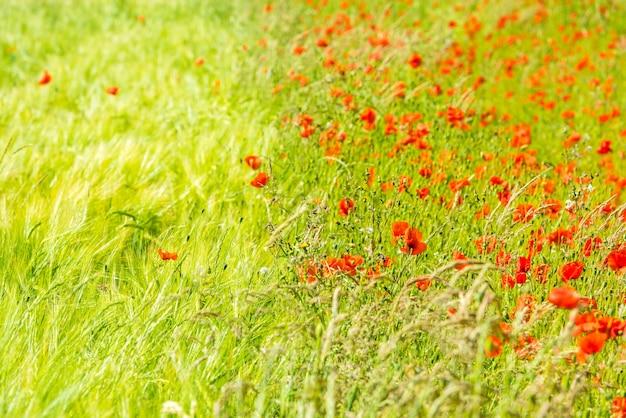 Roter mohn auf einer sommerwiese an einem sonnigen tag. horizontale aufnahme