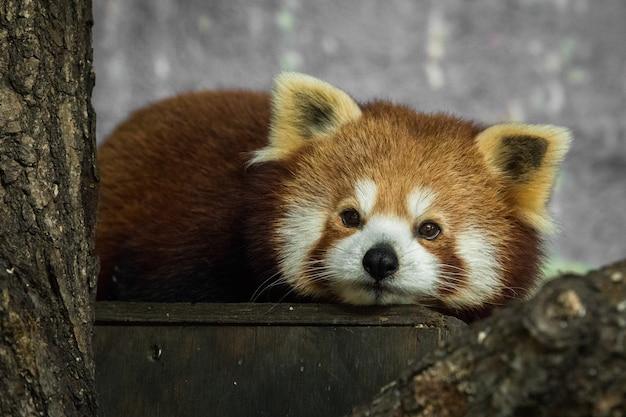 Roter panda, ailurus fulgens, ruht sich im inneren aus