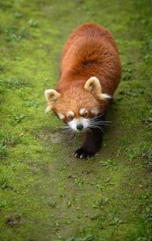 Roter panda, der auf einem mit moos bedeckten weg geht