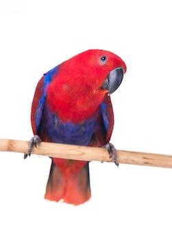 Roter papageienkeilschwanzsittich lokalisiert auf weißem hintergrund