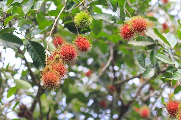 Roter rambutan auf dem rambutanbaum
