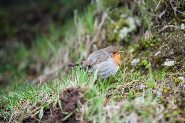 Roter robin-vogelabschluß oben in einem wald