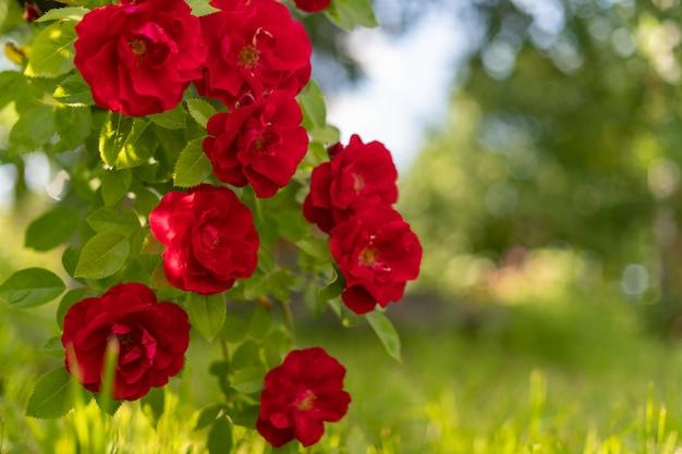 Roter rosenbusch im sommergarten bei sonnenuntergang.