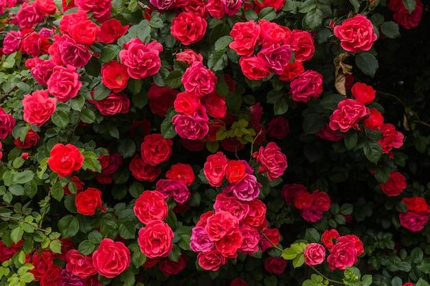 Roter rosenbusch wächst im park