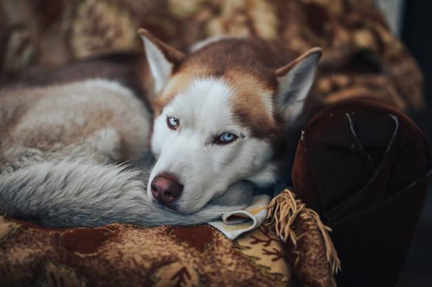 Roter schlittenhund zu hause, der an den traurigen blauen augen des lehnsessels liegt