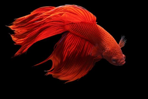 Roter siamesischer kampffisch oder betta splendens fantastische fische auf schwarzem hintergrund