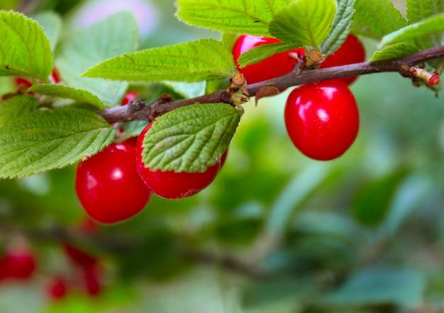 Roter süßer köstlicher kirschgarten