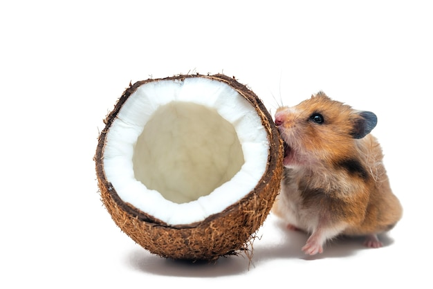 Roter syrischer hamster knabbert offene kokosnuss auf weißem hintergrund