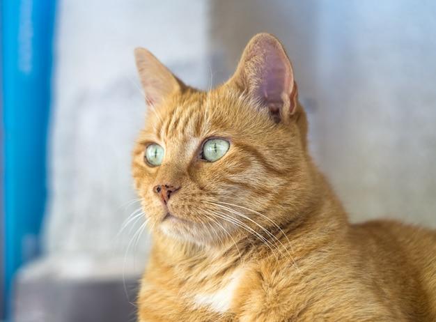 Roter tabbykatzenabschluß oben