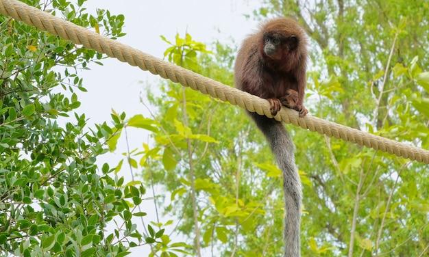 Roter titi-affe, der auf einer niederlassung im natürlichen lebensraum klettert