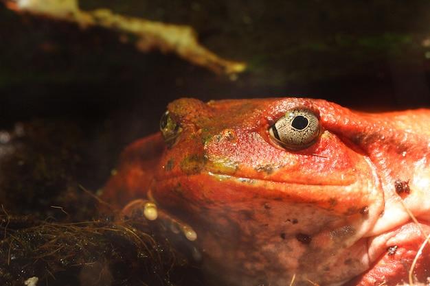 Roter tropischer frosch