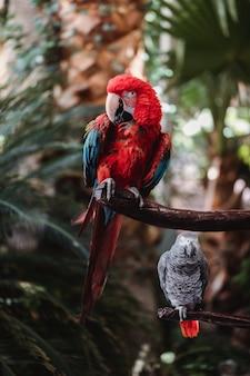 Roter und blauer papagei