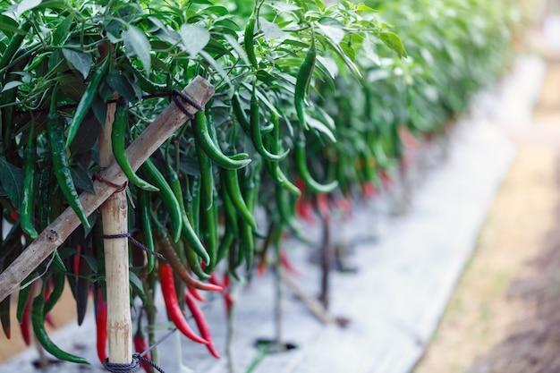 Roter und grüner paprikapfeffer, der im garten pflanzt