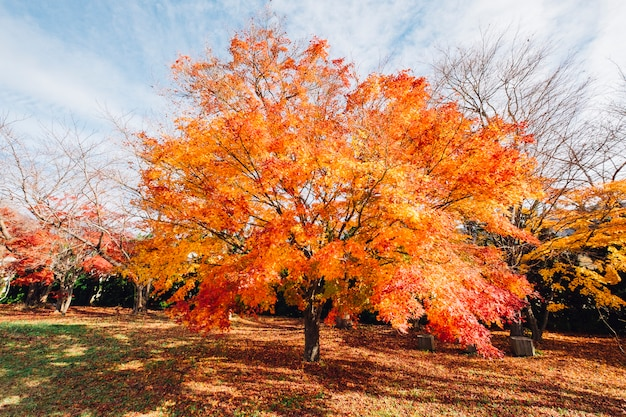 Roter und orange blattherbstbaum in japan
