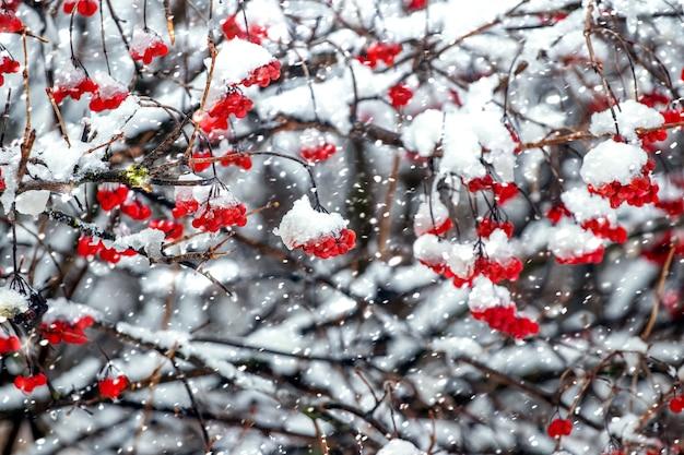 Roter viburnum während eines starken schneefalls, winterhintergrund