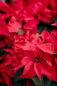 Roter weihnachtsstern in voller blüte