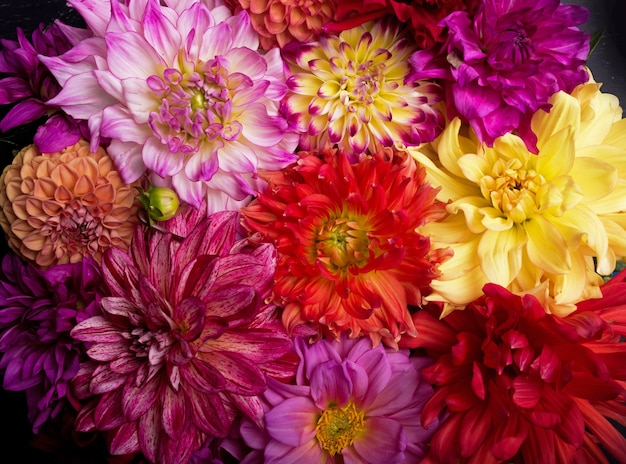 Roter, weißer, gelber dahlien-august bunter hintergrund. ansicht von mehrfarbigen dahlienblüten. schöne dahlienblumen auf grünem hintergrund. sommerblumen ist eine pflanzengattung in der sonnenblumenfamilie asteracea