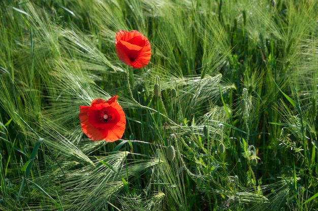 Roter wilder mohn im bereich des grünen roggens.