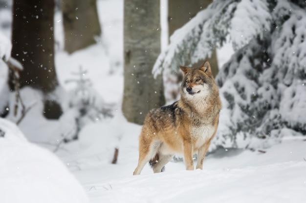 Roter wolf in einem wald bedeckt mit dem schnee und den bäumen