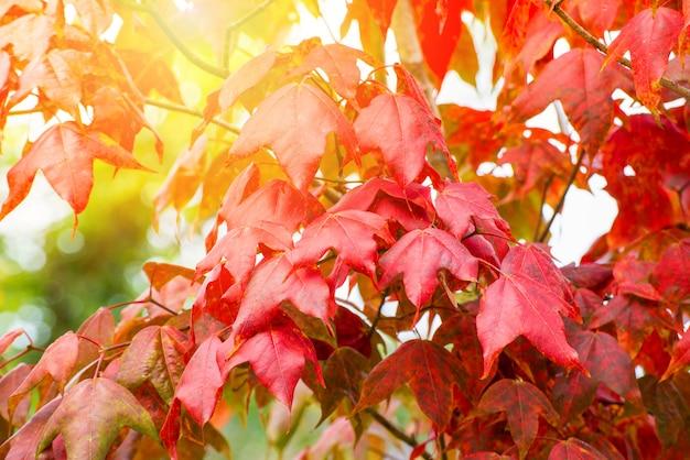 Rotes ahornblatt auf buntem jahreszeitherbst des ahornbaums im wald verlässt