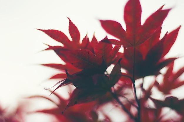 Rotes ahornblatt des herbstes auf weißem hintergrund