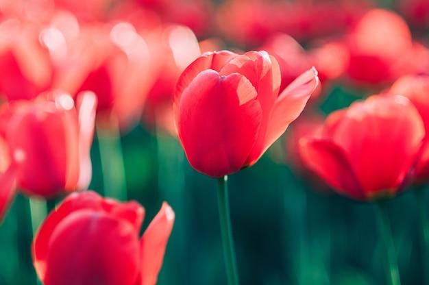 Rotes blumenfeld closeup rote tulpe im wind bewegungsunschärfe kunstkonzept bild für poster banner