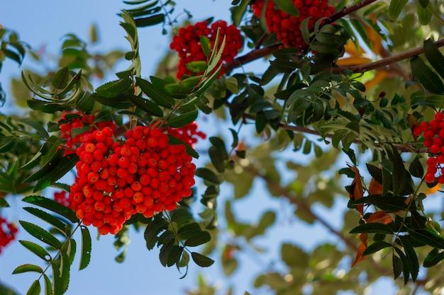 Rotes bündel der eberesche mit blättern gegen blauen himmel. herbst bunte rowan branch.