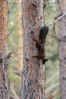 Rotes eichhörnchen auf einem baumstamm. tier in freier wildbahn.