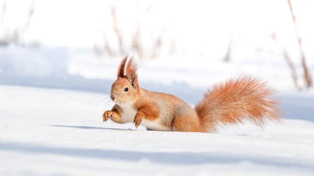 Rotes eichhörnchen auf weißem schnee